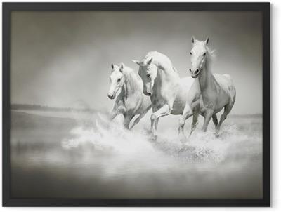 Herd of white horses running through water Framed Poster