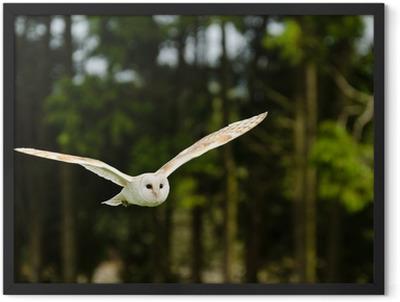 Barn owl flying Framed Poster