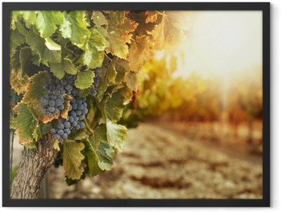 Vineyards at sunset Framed Poster