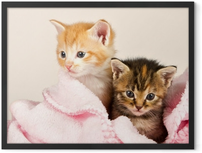 Two kittens in a pink blanket Framed Poster