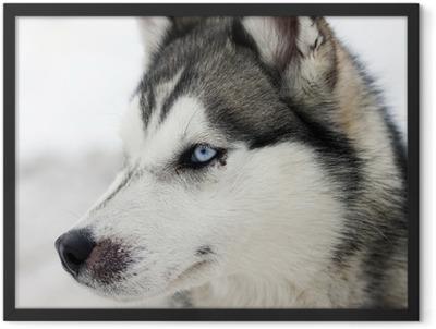 Husky portrait Framed Poster
