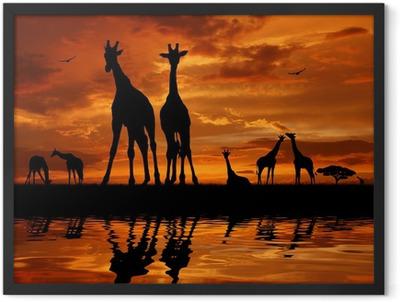 herd of giraffes in the sunset Framed Poster