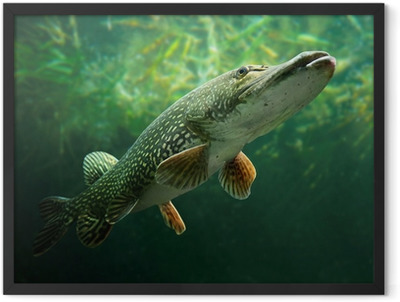 Underwater photo of a big Pike (Esox Lucius). Framed Poster