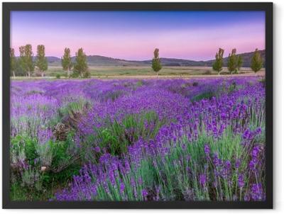 Sunset over a summer lavender field Framed Poster