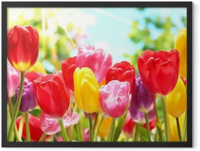 Fresh tulips in warm sunlight Framed Poster