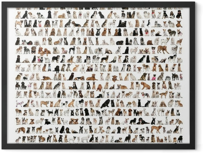 Large group of dog breeds in front of a white background Framed Poster