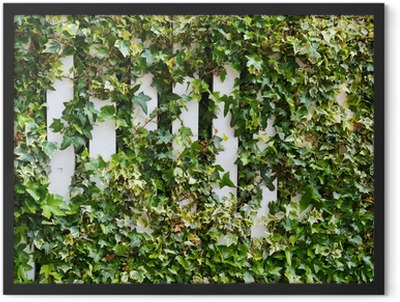 Parthenocissus tendril climbing decorative plant Framed Poster