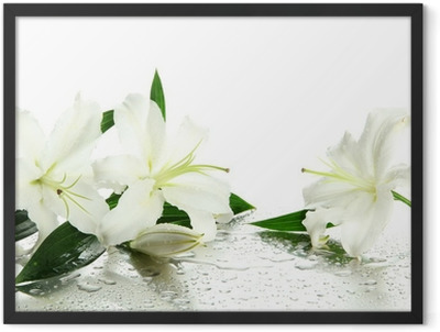 Beautiful lily, isolated on white Framed Poster