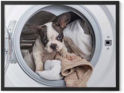 French bulldog puppy inside the washing machine Framed Poster