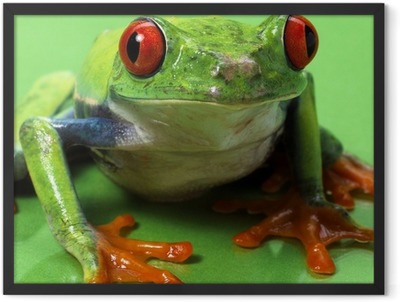 red eyed treefrog macro isolated exotic frog curious animal brig Framed Poster