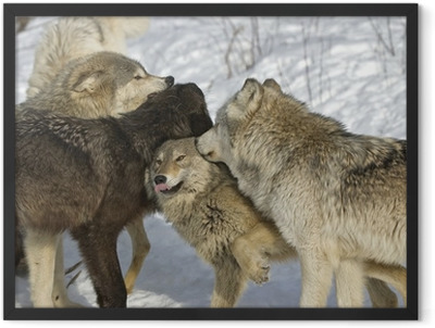 Wolf pack dominance fight. Northern Minnesota Framed Poster