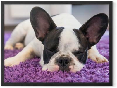 French bulldog sleeping on the carpet Framed Poster