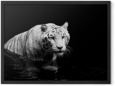 White Tiger Framed Poster