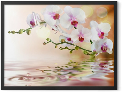 white orchids on water with drop Framed Poster