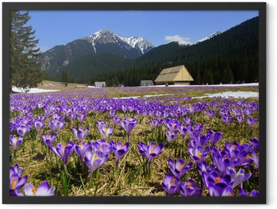 Crocuses in Chocholowska valley, Tatras Mountain, Poland Framed Poster