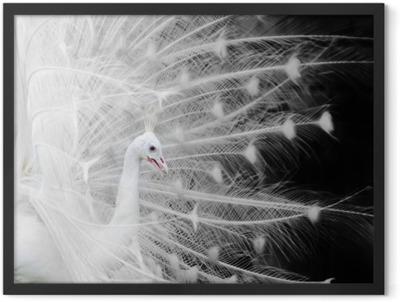 White peacock Framed Poster