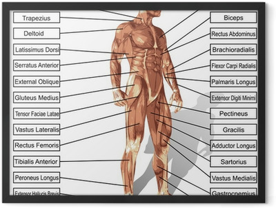 Vector human man anatomy with muscles text Framed Poster