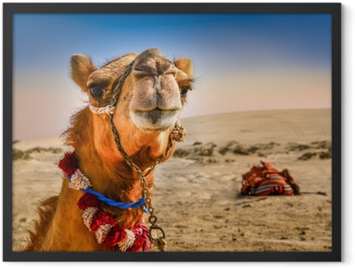 Detail of camel's head with funny expresion Framed Poster