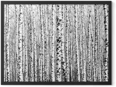 Spring trunks of birch trees black and white Framed Poster