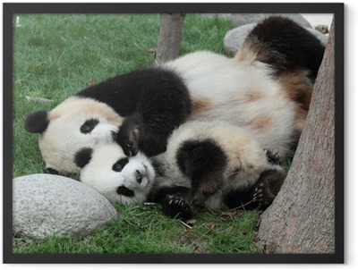 Giant panda with its cub Sleeping on the grass Framed Poster