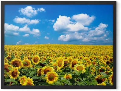 sunflower field Framed Poster