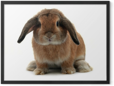 rabbit isolated on a white background Framed Poster