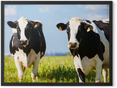 Cows at countryside in spring Framed Poster