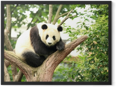 giant panda at forest Framed Poster