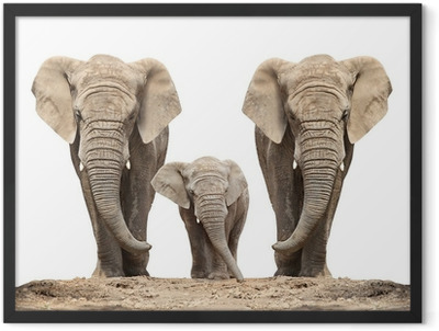 African elephant (Loxodonta africana) family on a white. Framed Poster