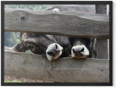 kühe Framed Poster