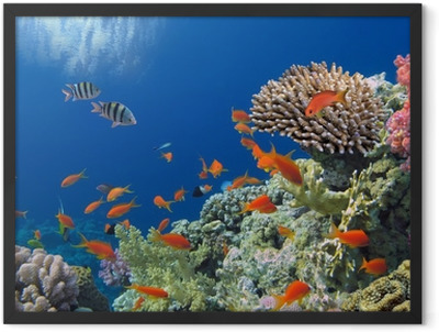 Tropical Fish on Coral Reef in the Red Sea Framed Poster