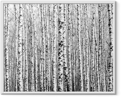 Spring trunks of birch trees black and white Framed Picture