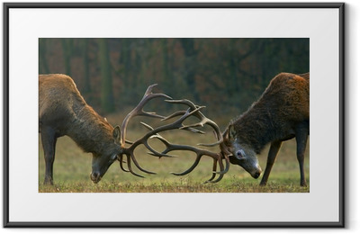 Red deer fight Framed Poster