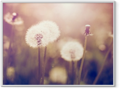 Vintage dandelions on a meadow Framed Poster