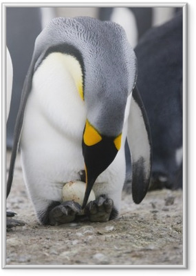 Penguin with egg Framed Poster