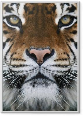 Poster en cadre Un tigre