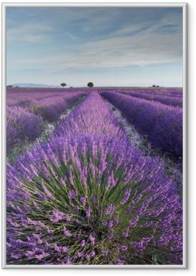Poster en cadre Champ de lavande en Provence pendant les heures de la matinée