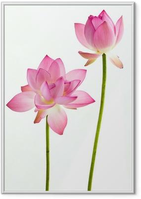 Poster i Ram Twain rosa näckros blomma (Lotus) och vit bakgrund.