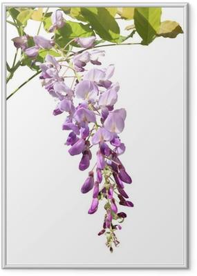 Póster Enmarcado Flor de glicina
