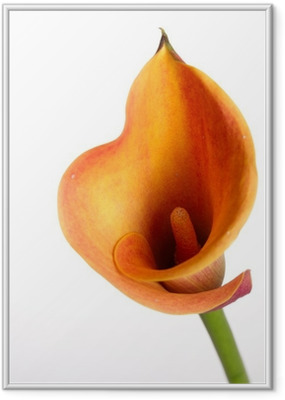 Poster in Cornice Arancione gigli Calla (Zantedeschia) su bianco