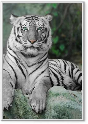 Poster i Ram WHITE TIGER på en klippa i zoo