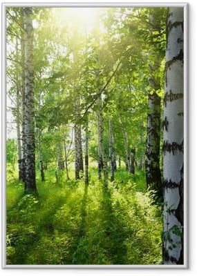 Poster en cadre Bois de bouleaux en été avec le soleil