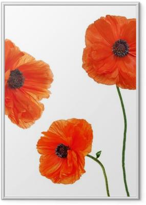 Set of single poppy flowers isolated on white background. Framed Poster