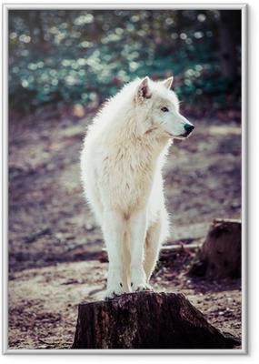 Poster en cadre Loup blanc de l'Arctique