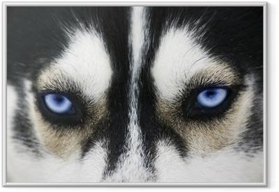 Plakat w ramie Zamknij się na niebieskich oczach psa