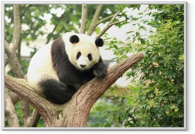 giant panda at forest Framed Poster