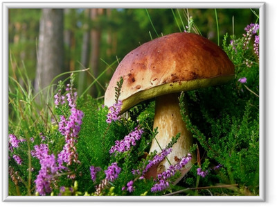 Póster com Moldura edible mushroom - cep with flowering Heather