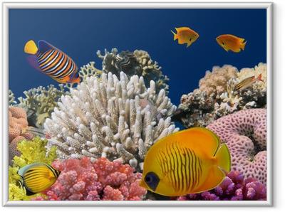 Poster en cadre La vie sous-marine d'un récif de corail dur, Mer Rouge, Egypte - Récif de corail