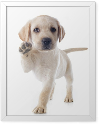 puppy labrador retriever Framed Poster