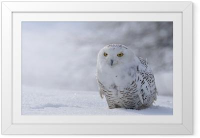 Innrammet plakat Snøig owl sitter på snøen